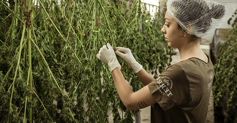 Žena suší marihuanu zavesenú dole kvetmi