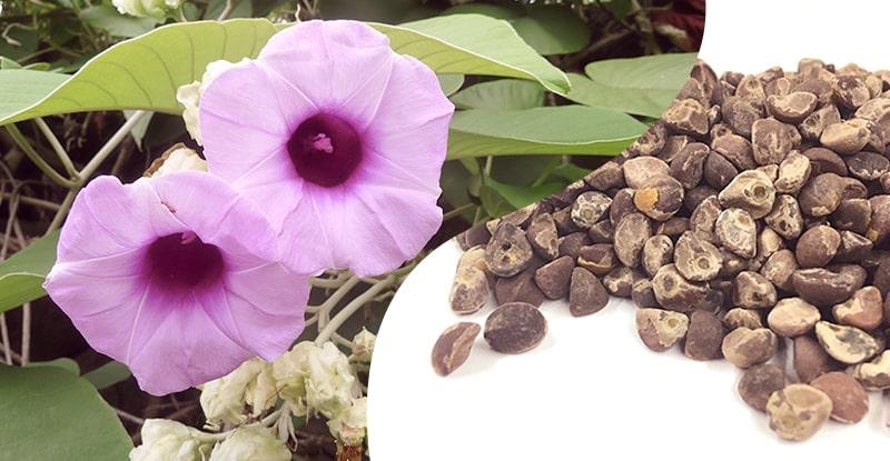 kvet a semeno rastlinnej drogy havajská ruža