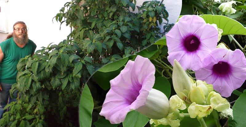ukážky rastlín šalvia divotvorná (salvia divinorum) a havajská ruža (Argyreia nervosa)