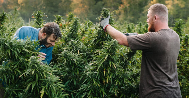 Dvaja muži zbierajú úrodu kanabisu
